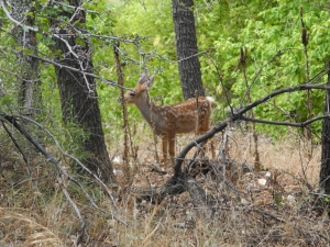 A fawn we spotted while hiking in Zion National Park.