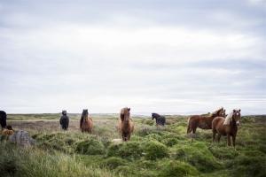 horses-593163_640